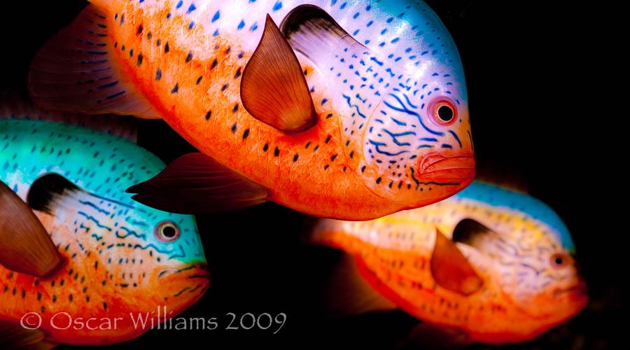 Three Sunfish Close-up